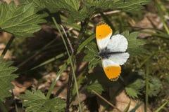 Πορτοκαλιά cardamines Anthochraris άκρη-πεταλούδων Στοκ Φωτογραφίες
