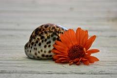 Πορτοκαλιά gerberas και θαλασσινό κοχύλι στις παλαιές ξύλινες σανίδες Στοκ φωτογραφίες με δικαίωμα ελεύθερης χρήσης