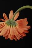 Πορτοκαλιά gerberas Στοκ Εικόνες
