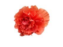 Πορτοκαλιά hibiscus κινέζικα αυξήθηκαν Στοκ Εικόνες