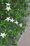 Πορτοκαλιά jasmines Στοκ Εικόνες