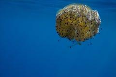 Πορτοκαλιά Jellyfish Στοκ Εικόνα