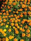 Πορτοκαλιά marigolds στοκ εικόνα
