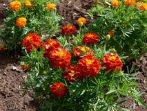 Πορτοκαλιά marigolds στοκ φωτογραφία με δικαίωμα ελεύθερης χρήσης