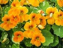 Πορτοκαλιά nasturtiums Στοκ εικόνα με δικαίωμα ελεύθερης χρήσης