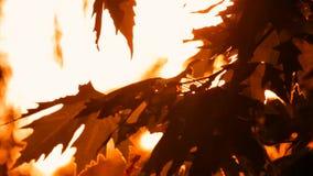 Πορτοκαλιά Sycamore φύλλων ηλιοφάνεια Sanctified φιλμ μικρού μήκους