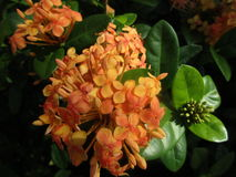 Πορτοκαλιές εγκαταστάσεις με τα λουλούδια Στοκ Φωτογραφίες