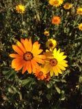 Πορτοκαλιές και κίτρινες μαργαρίτες Στοκ Εικόνες