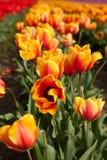 Πορτοκαλιές και κόκκινες τουλίπες στην άνθιση Στοκ Εικόνες