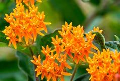 Πορτοκαλιές μικροσκοπικές άγριες συστάδες λουλουδιών Στοκ εικόνες με δικαίωμα ελεύθερης χρήσης