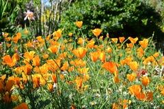 Πορτοκαλιές παπαρούνες Καλιφόρνιας στον τομέα Στοκ φωτογραφίες με δικαίωμα ελεύθερης χρήσης