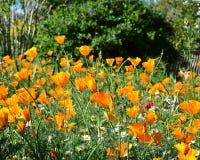 Πορτοκαλιές παπαρούνες Καλιφόρνιας στον τομέα Στοκ Εικόνα