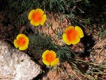 Πορτοκαλιές παπαρούνες Καλιφόρνιας Στοκ εικόνα με δικαίωμα ελεύθερης χρήσης