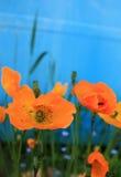 πορτοκαλιές παπαρούνες Στοκ Φωτογραφίες