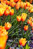 Πορτοκαλιές τουλίπες ανθών Στοκ Εικόνες