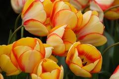 πορτοκαλιές τουλίπες κίτρινες στοκ φωτογραφίες με δικαίωμα ελεύθερης χρήσης