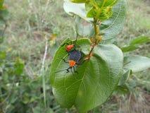 Πορτοκαλιοί κάνθαροι στο φύλλο στη Σουαζιλάνδη Στοκ Εικόνες