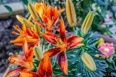 Πορτοκαλιοί κρίνοι με τους πορτοκαλιούς, κίτρινους και πράσινους μίσχους Στοκ φωτογραφίες με δικαίωμα ελεύθερης χρήσης
