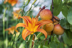 Πορτοκαλιοί κρίνος και βερίκοκα Στοκ Φωτογραφία