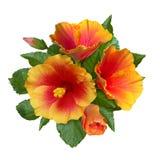 Πορτοκαλιοί hibiscus λουλούδια και οφθαλμοί Στοκ Εικόνες