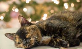 Πορτρέτα Χριστουγέννων με τις γάτες κατοικίδιων ζώων στοκ φωτογραφία με δικαίωμα ελεύθερης χρήσης