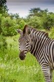 Πορτρέτο ένα άγριο με ραβδώσεις σε μια πράσινη σαβάνα στο πάρκο Kruger Στοκ Φωτογραφία