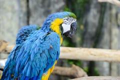 Πορτρέτο ένα κινηματογραφήσεων σε πρώτο πλάνο showi ararauna ara μπλε-και-κίτρινου macaw Στοκ εικόνες με δικαίωμα ελεύθερης χρήσης