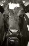 πορτρέτο αγελάδων Στοκ εικόνα με δικαίωμα ελεύθερης χρήσης