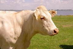 πορτρέτο αγελάδων στοκ εικόνες με δικαίωμα ελεύθερης χρήσης