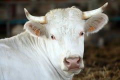 πορτρέτο αγελάδων Στοκ Φωτογραφίες
