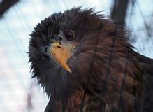 Πορτρέτο αετών που εξετάζει τη κάμερα Στοκ φωτογραφία με δικαίωμα ελεύθερης χρήσης
