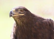 Πορτρέτο αετών στη φύση Στοκ Εικόνες