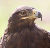 Πορτρέτο αετών στη φύση Στοκ Εικόνα