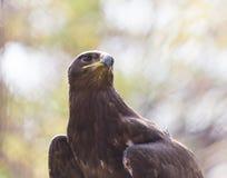 Πορτρέτο αετών στη φύση Στοκ φωτογραφία με δικαίωμα ελεύθερης χρήσης