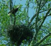 Πορτρέτο αετών Στοκ Φωτογραφία