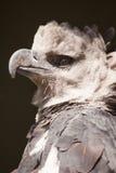 Πορτρέτο αετών Harpy Στοκ φωτογραφία με δικαίωμα ελεύθερης χρήσης