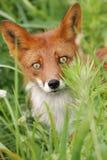 πορτρέτο αλεπούδων στοκ φωτογραφία
