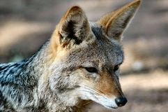 πορτρέτο αλεπούδων Στοκ Φωτογραφίες
