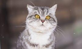 πορτρέτο ανώτερο Υ kuzia ο 12 γατών Στοκ Φωτογραφία