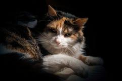πορτρέτο ανώτερο Υ kuzia ο 12 γατών Στοκ εικόνες με δικαίωμα ελεύθερης χρήσης