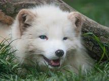 πορτρέτο αρκτικών αλεπούδων Στοκ Εικόνες
