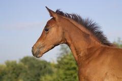 Πορτρέτο αστείο foal κόλπων Στοκ εικόνες με δικαίωμα ελεύθερης χρήσης