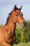 Πορτρέτο αστείο foal κόλπων Στοκ Εικόνα