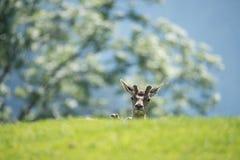 Πορτρέτο αυγοτάραχων buck Στοκ Φωτογραφίες