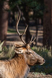 Πορτρέτο αλκών του Bull Στοκ Εικόνες