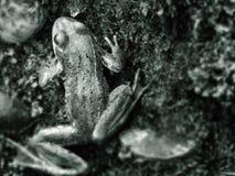 πορτρέτο βατράχων Στοκ φωτογραφίες με δικαίωμα ελεύθερης χρήσης