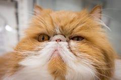 Πορτρέτο γατών κινηματογραφήσεων σε πρώτο πλάνο Στοκ φωτογραφία με δικαίωμα ελεύθερης χρήσης