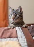 Πορτρέτο γατών μέσα στο σπίτι. Στοκ Εικόνες