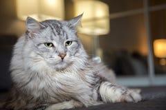 Πορτρέτο γατών οριζόντια Στοκ Φωτογραφίες