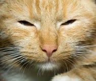 Πορτρέτο γατών πιπεροριζών Στοκ φωτογραφία με δικαίωμα ελεύθερης χρήσης